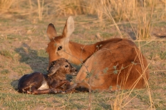 South Luangwa - A New Baby Puku