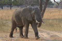 South Luangwa - Elephants Have Right of Way
