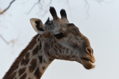 South Luangwa - Giraffe