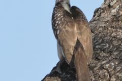 South Luangwa - Grey Hornbill