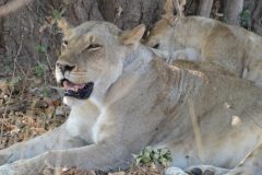 South Luangwa - Lioness With Open Mouth