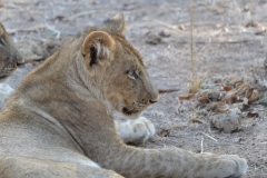 South Luangwa - Lioness