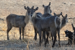 South Luangwa - Waterbuck