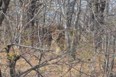 Zambezi - Lioness Waiting for us to Move On