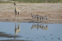Hwange - Giraffe and Zebra at the Wayerhole