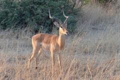 Hwange - Male Impala