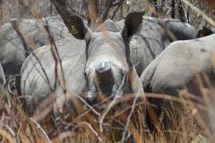 Matobo - White Rhino