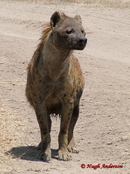 81629 Hyena