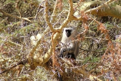 81614 Vervet Monkey