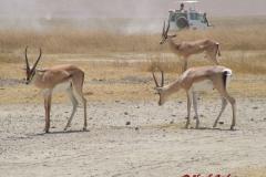 81628 Grant's Gazelle