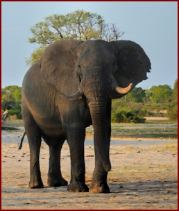 Elephant in Hwange National Park