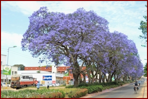 Jacaranda in Mzuzu Malawi