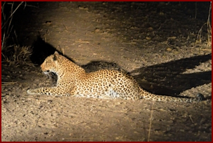 Leopard in South Luangwa