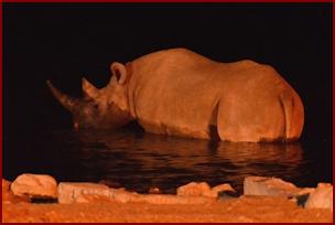 Rhino at the Okaukuejo Water Hole - Etosha
