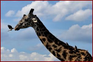 Serengeti Twiga
