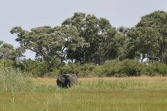 Okavango - Elephant