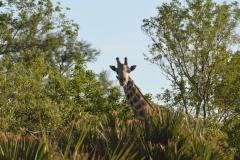 Okavango - Giraffe
