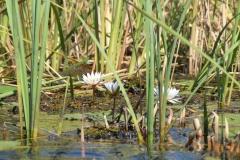 Okavango Water Lillys