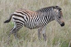 Maasai Mara - Baby Zebra