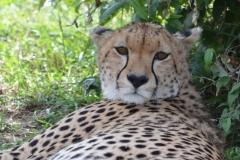Maasai Mara - Cheetah
