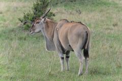 Maasai Mara - Eland