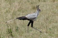 Maasai Mara - Secretary Bird