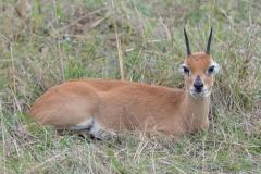 Maasai Mara - Suni Antelope