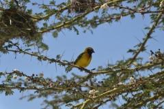 Weever Bird