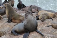 Cape Cross - Bull Fur Seal