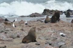 Cape Cross - Fur Seals and Seagulls