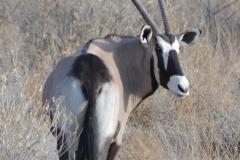 Etosha - Gemsbock Looking Over Right Shoulder