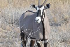 Etosha - Gemsbok Looking Right