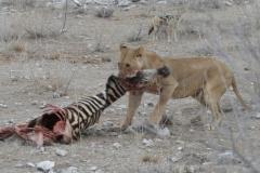Etosha - Lioness With Zebra Carcase