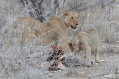 Etosha - Lioness and Cub With Zebra Carcase
