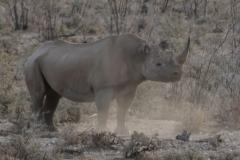 Etosha - Rhino Kicking Up Dust