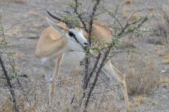 Etosha - Springbok and Thorn Tree