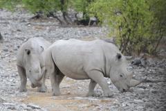 Etosha - White Rhino