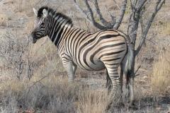 Etosha - Zebra - Double Stripes
