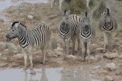 Etosha - Zebra at the Waterhole