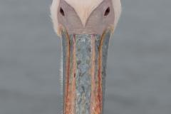 Walvis Bay - Looking a Pelican Between the Eyes