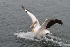 Walvis Bay - Pelican Making a Splash