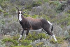 Bontebok on the Cape Peninsula