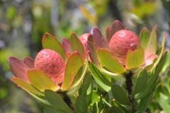 Protea on Table Mountain