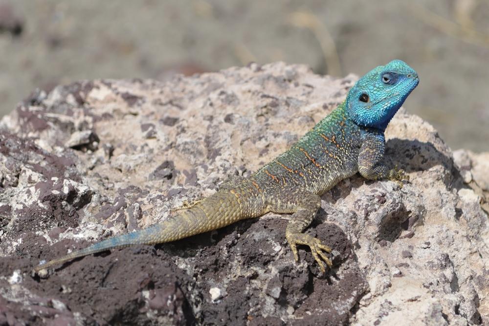 Serengeti - Blue Headed Lizard