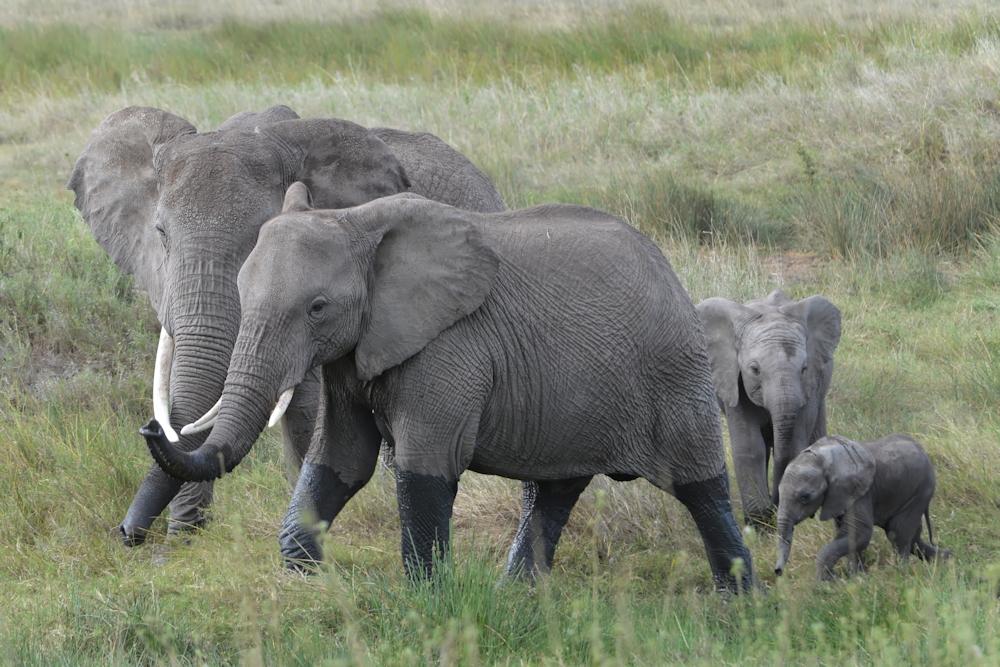 Serengeti - Elephant Family