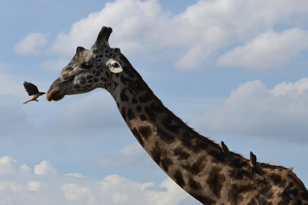 Serengeti - Giraffe With Tick Birds