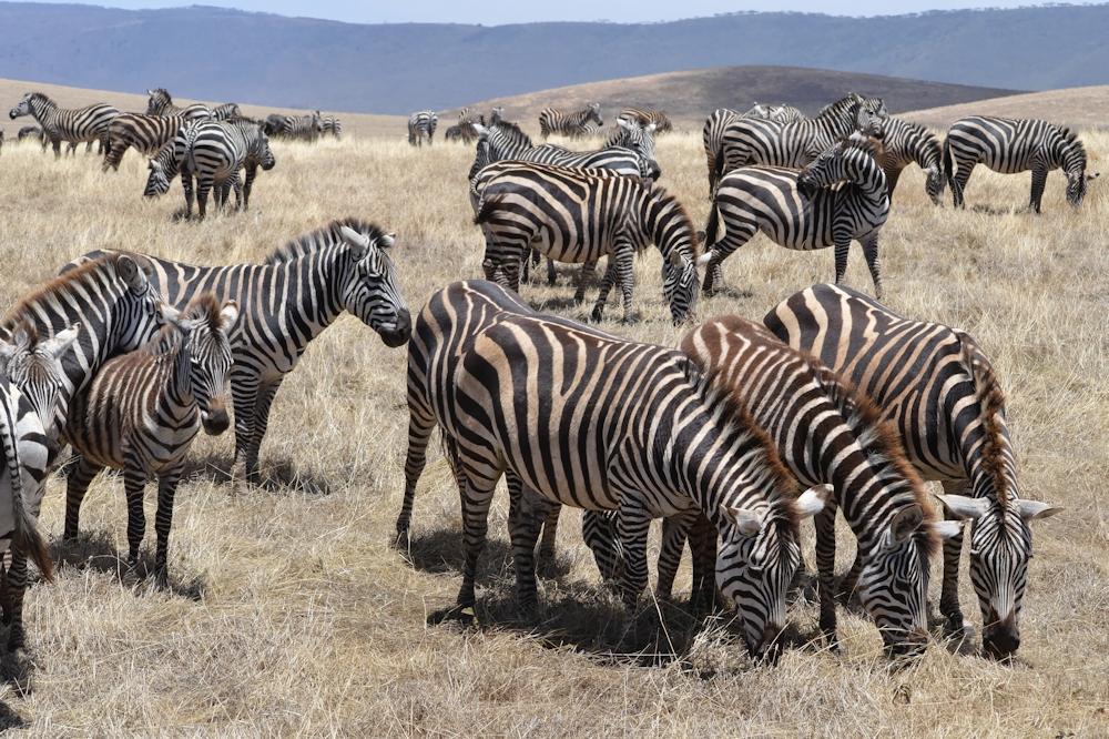 Serengeti - Grazing Zebra