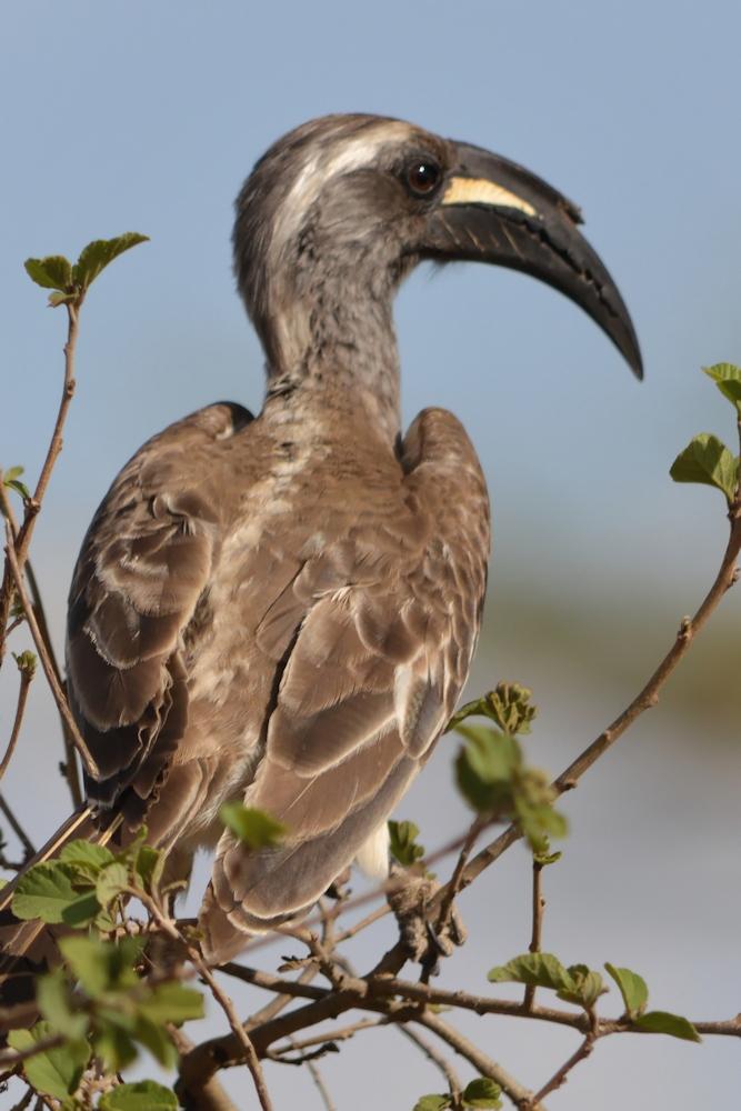Serengeti - Grey Hornbill