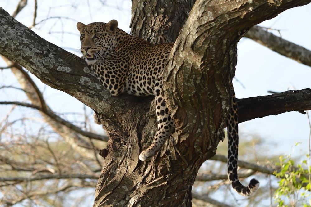 Serengeti - Leopard in a Tree