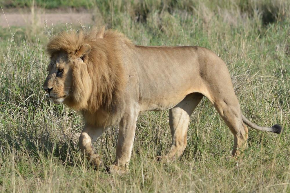 Serengeti - Lion